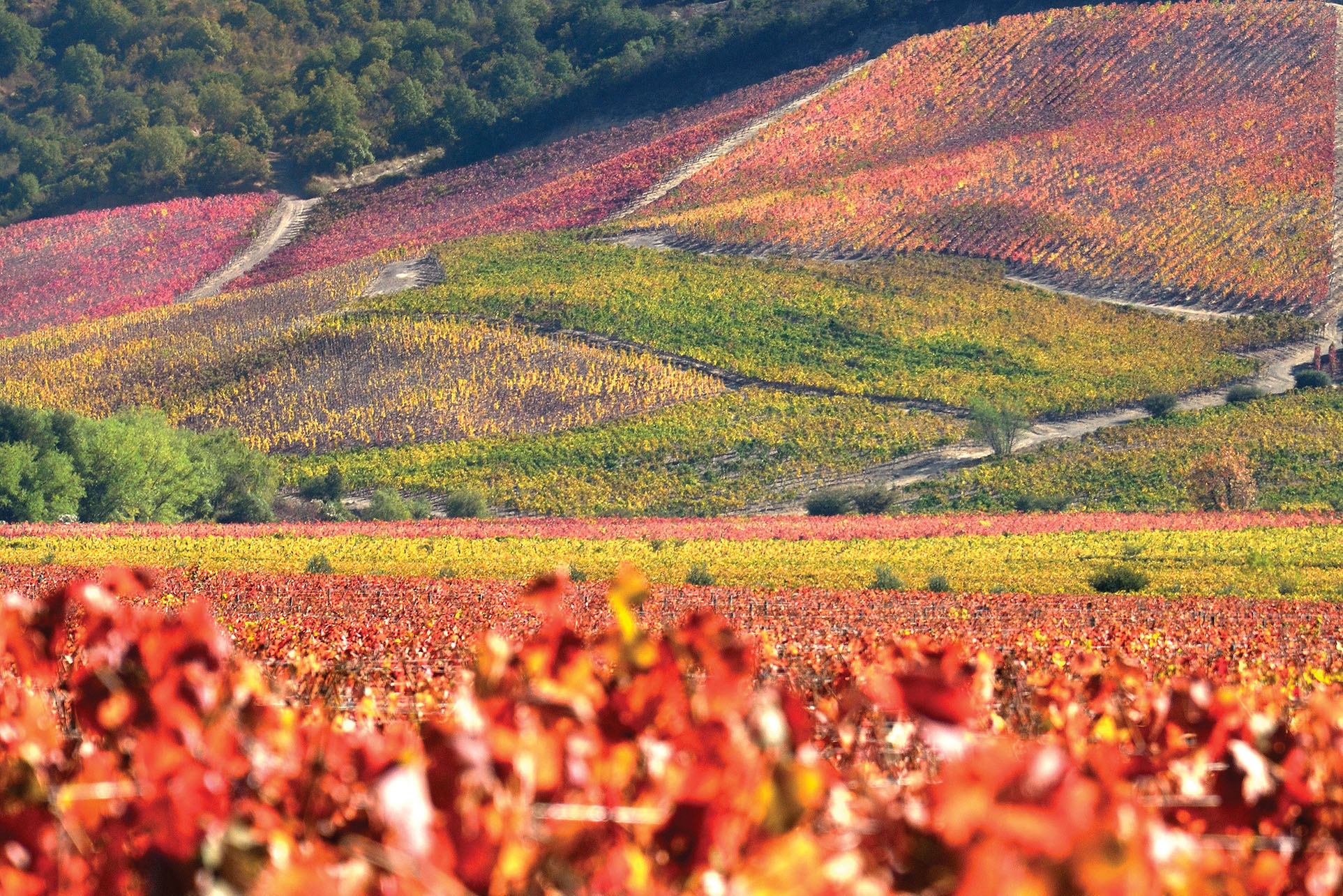 The vibrant autumn colors of Lapostolle Vineyard in Chile, certified as both organic and biodynamic. (Photo by Jorge León Cabello.)