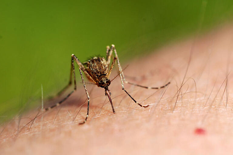 A feeding mosquito, an arm with a drop of blood