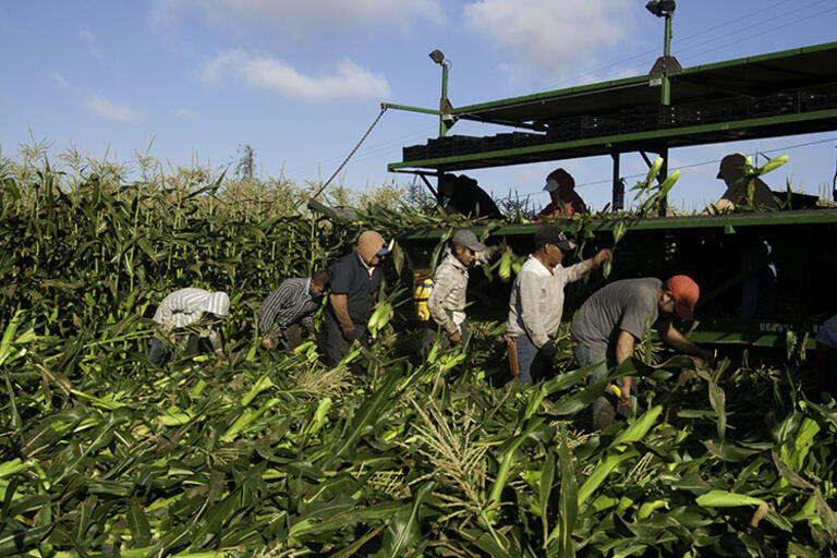 A group of eight California farm workers harvest corn