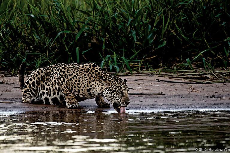 Photo © Simón González Vélez, from Jaguar: Voz de un territorio. (Courtesy of Canoa Films and Ruge Films.)