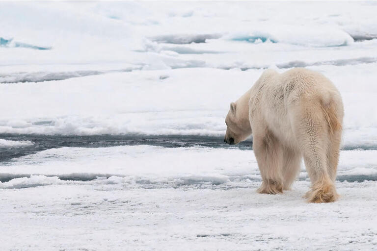 With its range shrinking due to collapsing sea ice levels, an emaciated polar bear hunts in the Arctic. (Photo by Stefan Cohen.)