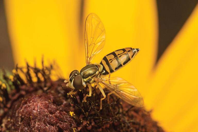A bright yellow hoverfly. (Photo by Rollin Coville.)