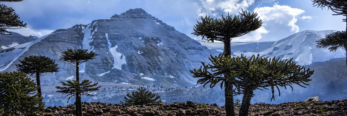 Araucaria trees in front of the Andes mountains