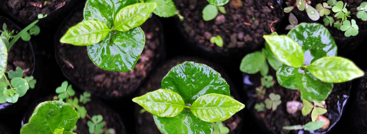 Baby coffee plants growing tall