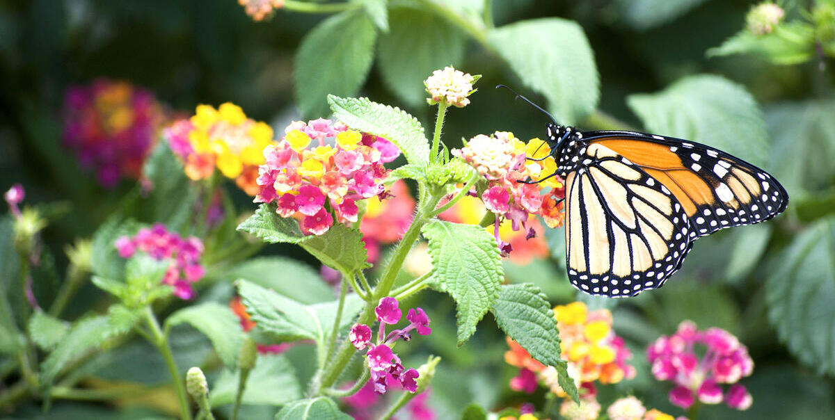 A monarch butterfly perches amidst white, pink, and yellow flowers. (Photo by Tiago Fernandes.)