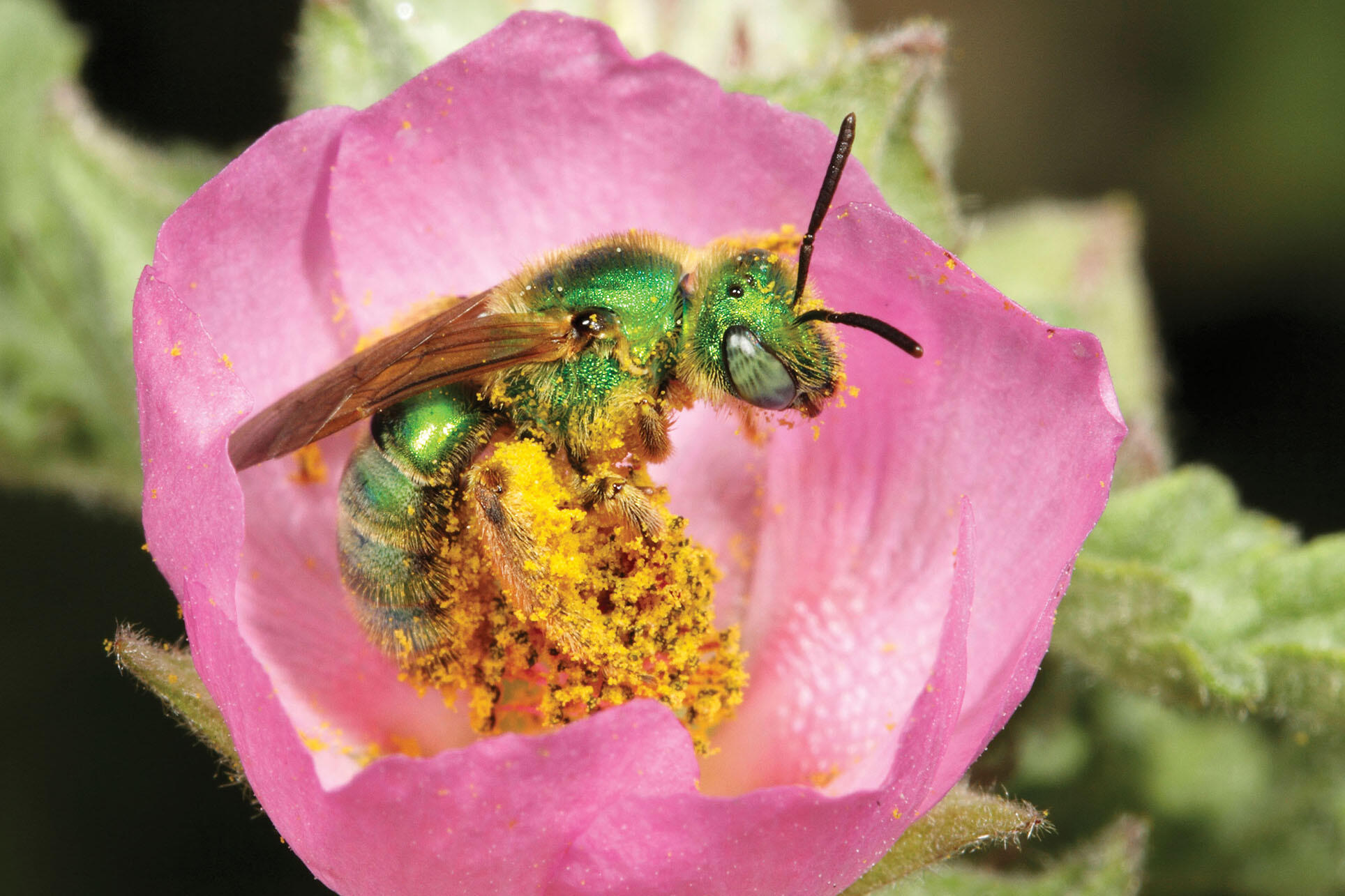 A female ultra green sweat bee covered in yellow pollen. (Photo by Rollin Coville.)