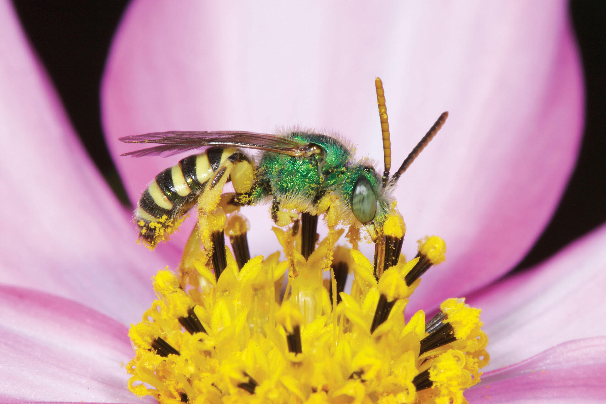 An iridescent green male ultra green sweat bee covered in yellow pollen. (Photo by Rollin Coville.)