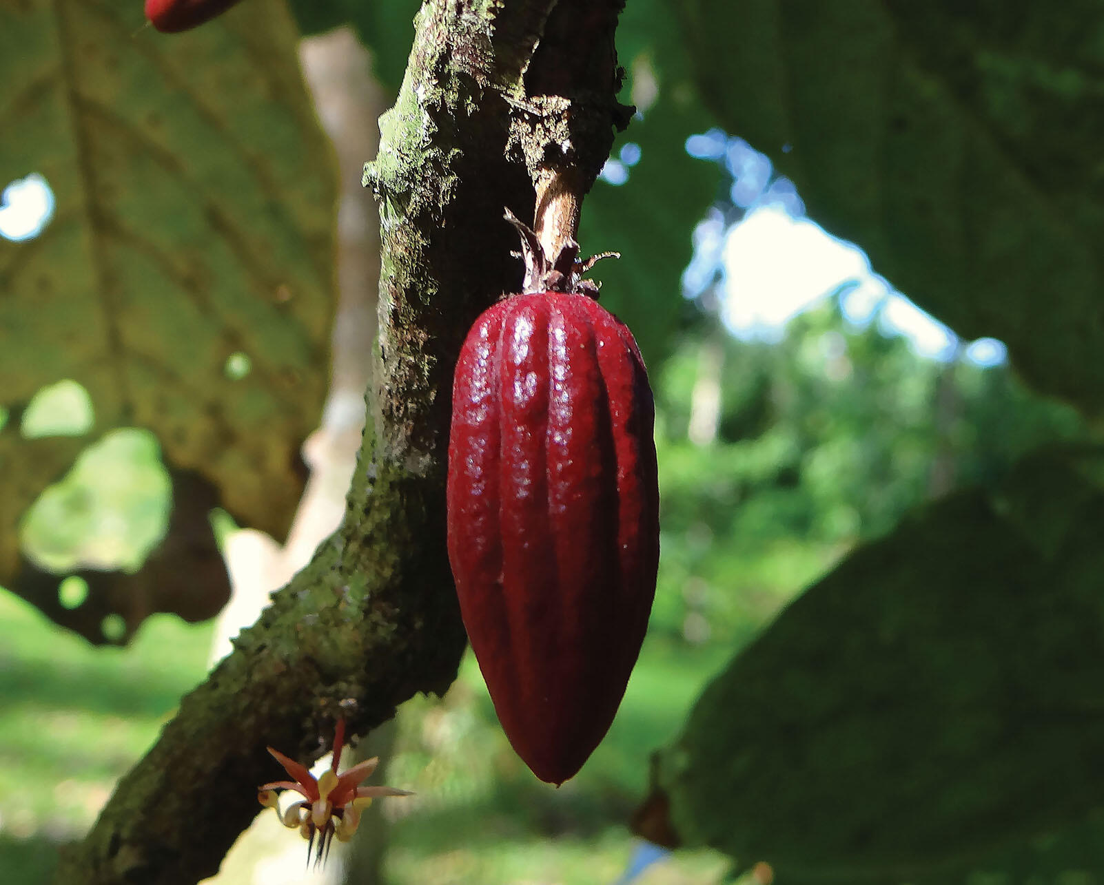 The pale flower on the trunk and large maroon fruit of the cacao plant (Theobroma cacao).