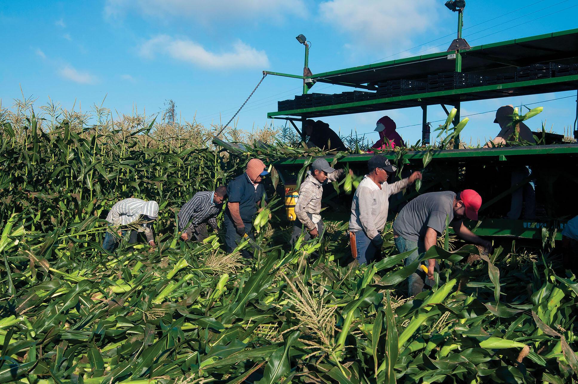 Trabajadores migrantes cosechan maíz en California, 2013. (Foto por Bob Nichols / USDA.)