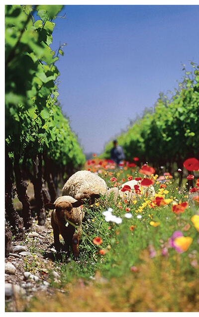 Sheep graze between the rows at Cono Sur Vineyards in Chile. (Photo by Cono Sur Vineyards and Winery.)