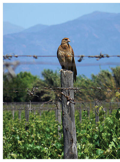 A falcon perches on a fencepost and hunts insects in a Chilean vineyard. (Photo by Andrés Muñoz-Sáez.)